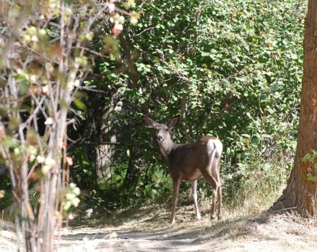 Labor day deer in Balboa Park