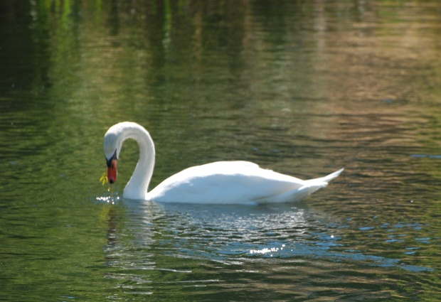Swan Labor day